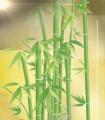 Bambou Australien