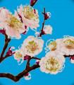 Fleurs Cerisiers Japonais