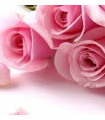 Roses fraichement coupées