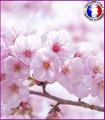 Fleur de Cerisier Japonais (Nouvelle Formule)